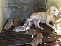 Cães de caça de paca e capivara