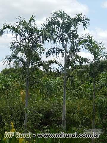 VIVEIRO  PLANTAS ORNAMENTAIS - BRASILIA DF PALMEIRA IMPERIAL
