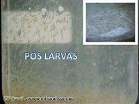 LARVAS  E ALEVINOS TAMBAQUI (HIBRIDOS)