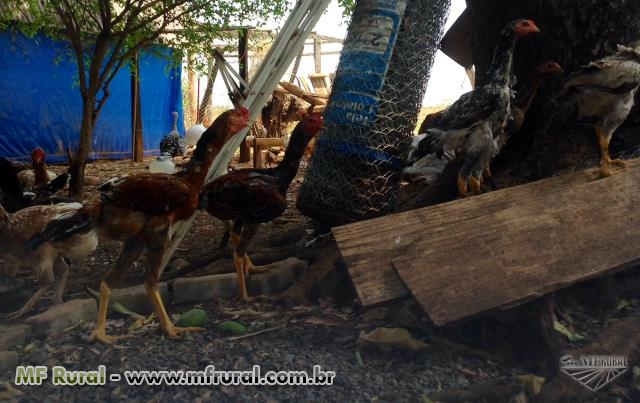 Ovos galados de ÍNDIO GIGANTE com brinde de ovos AZUIS DA RAÇA!