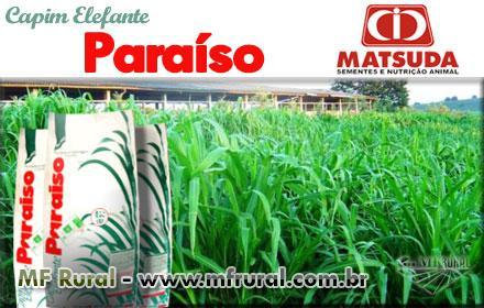 SEMENTES DE CAPIM ELEFANTE PARAÍSO MATSUDA + MANUAL DE PLANTIO + FRETE GRÁTIS
