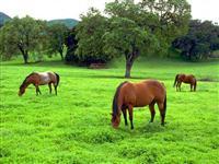 Sementes de Capim Massai VC 34%, orientação agronômica, enviamos / todo Brasil