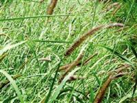 SEMENTES CAPIM BUFFEL GRASS / ENVIAMOS PARA TODO BRASIL