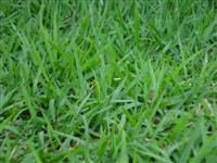 SEMENTES DE GRAMA ESMERALDA- pre germinadas e tratadas com hormônio vegetal