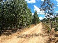 Venda floresta de Eucalipito