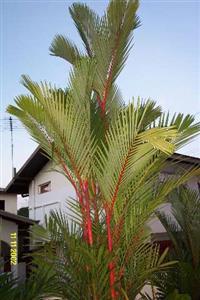 Palmeira Laca Vermelha 1 Metro