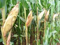Sementes de Milho BM709PRO2 - Resistente ao Glifosato e a Lagartas