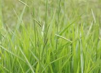 Sementes de Brachiaria decumbens  - Tolerância a seca e baixa exigência em fertilidade!