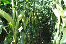 Sementes de milho BM3066PRO2 Transgênico - Milho verde, Silagem e Grãos - Saco com 60 mil sementes