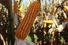 Sementes de milho Hibrido RK 3115 - Produção de Grãos e Silagem - Sacos de 20 kg