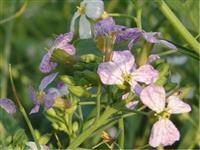 Sementes de Nabo Forrageiro - Pasto de inverno, Descompactador natural e Rotação - Sacos de 40 kg
