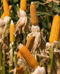 Sementes de milho Al Bandeirante - Saco com 20 kg