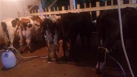 Vende-se Plantel de gado leiteiro
