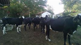 Vacas de Leite, novilhas e bezerras