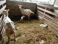 Cabras saanen PO - PLANTEL FECHADO 50 CABRAS