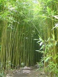 Bambu Chines - Vara de Pescar - Bambu para Decoração