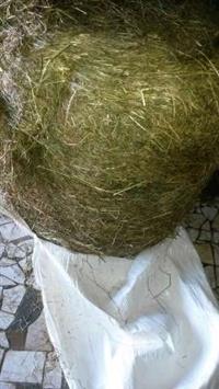 Pré secado de azevém Bakarat de excelente qualidade