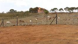 Cabras Saanen e alpinas e ordenhadeira