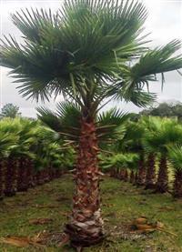 PALMEIRA WASHINGTÔNIA - 150-170 cm de tronco
