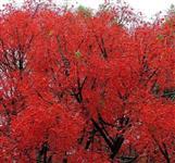 SEMENTE DE FLAME TREE, ÁRVORE EM CHAMAS, ÁRVORE DE FOGO, BRACHYCHITON ACERRIFOLIUS, KURRAJONG