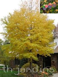 SEMENTES DE KATSURA TREE - CERCIDIPHYLLUM JAPONICUM