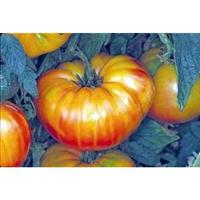 SEMENTES DE TOMATE PINEAPLLE STRIPED