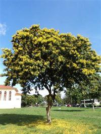 Pau Brasil - Caesalphinia echinata - 1,2 metros