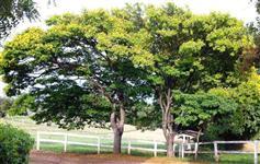 Sibipiruna - Caesalpinia peltophoroiddes - 1,8 m a 2 metros