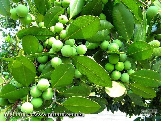 Sementes de Guanandi - Calophyllum brasiliense