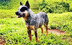 Australian Cattle Dog / Boiadeiro Australiano- Blue Heeler, Red heeler