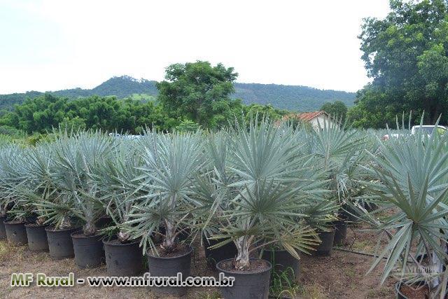 ... Mudas de Palmeira Azul (Bismarckia nobilis) 7e1d7d2a1b3df