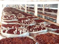 Cogumelo Agaricus Blazei - Sou produtor