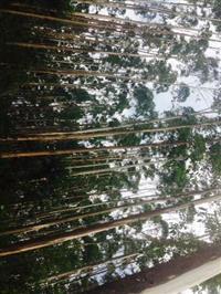 Vendo Eucalipto, Eucalyptus