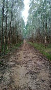 Compro eucalipto e pinus