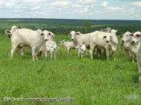 vendo 6500 vacas paridas