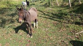 Burros e mulas à venda
