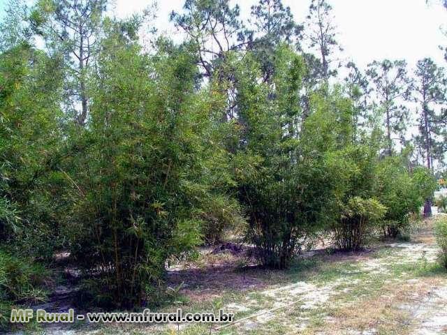 Rizomas E Mudas De Bambu Gigante, Guadua, Mosso e muitas outras espécies R$19,90