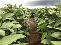 Fazenda produzindo soja a 06 anos e boas condições de pagamentos