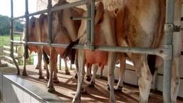 Vacas e novilhas jersey vendo urgente