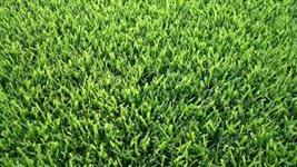 Sementes de grama esmeralda 100 metros quadrados - Frete Grátis