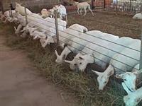 Cabras sanem produzindo acima de 5 litros de leite dia