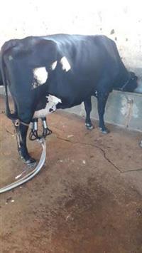 Vendo gado de leite e equipamentos
