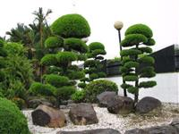 Podocarpos (Podocarpus Macrophyllus) -DIRETO PRODUTOR
