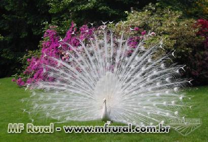 Aves Ornamentais - Ovos galados de qualidade de pavão pavões