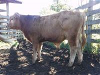 Red angus bezerro