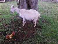 Cabras leiteiras saanen produzindo