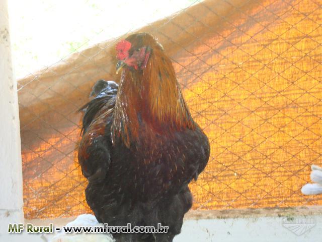 Ovos Galados de Aves Ornamentais