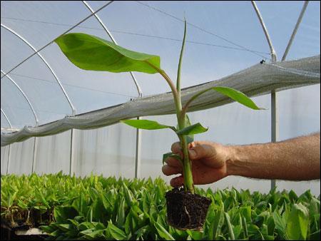 Mudas de Banana - Mudas de Bananeira. Mudas Certificadas, Enviamos para todo o Brasil