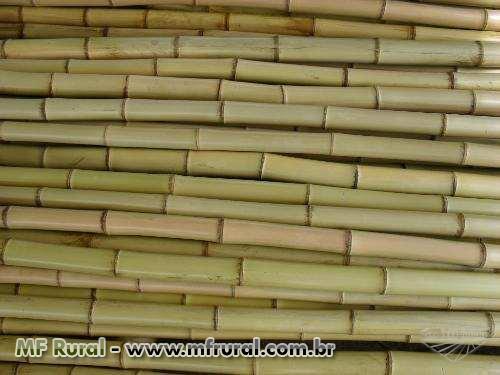 Bambu/Cana da India