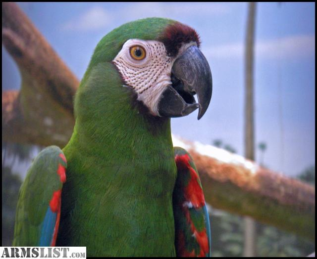 ARMSLIST - For Sale/Trade: Trade for Guns. Macaw Parrot ...